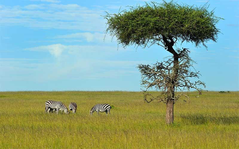 Kenia-Informationen-zebras-massai-mara